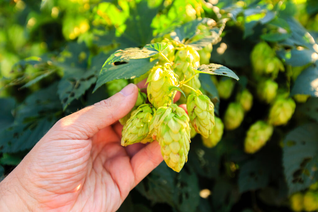 The Golden Age of Hops and Beer:  The Fine Art of Choosing a Hop