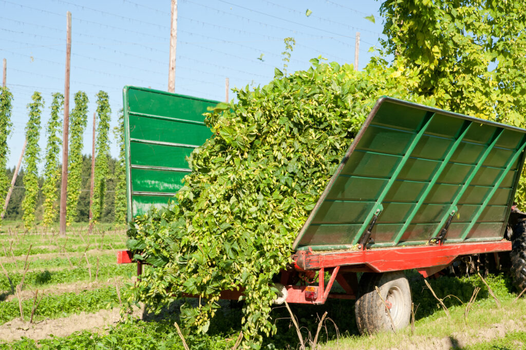 Post-harvest Tips for Hop Growers